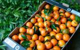 Pourquoi vous devez absolument consommer des clémentines de Corse