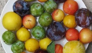 10 choses à savoir sur les prunes