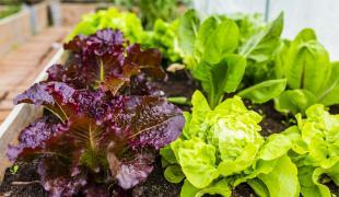 Insolite : des astronautes cultivent des salades… dans l'espace