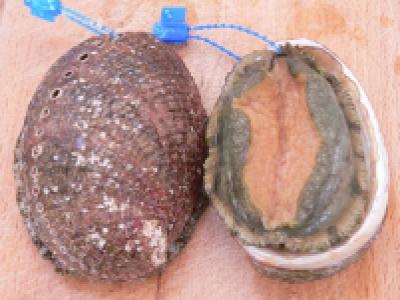 Ormeau à l'échalote - Photo par brigitte pessel