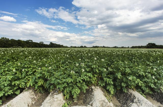 Savez-vous tout sur la pomme de terre ? - Photo par Bérengère
