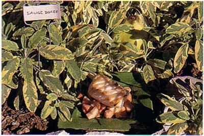 L'escalope de cabillaud aux dés de coings et jus de lapin - Photo par 750g